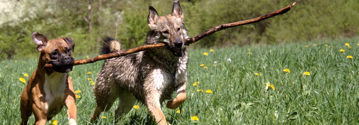 Dogs carrying stick